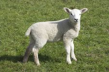 Free Lamb Royalty Free Stock Photo - 8858785