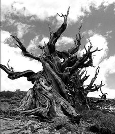 Free Bristlecone Pine Royalty Free Stock Images - 88559439