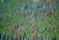Free Mountain Pine Beetle Damage Royalty Free Stock Images - 88559989