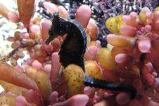 Free Dark Seahorse Royalty Free Stock Image - 88560576