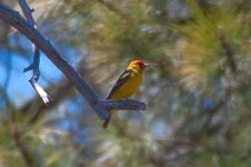 Free Western Tanager Royalty Free Stock Photos - 88561878