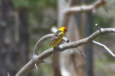 Free Western Tanager Stock Images - 88561944