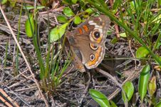 Free Tropical Buckeye Butterfly Stock Image - 88562081