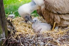 Free Vulture And Hatchling On Brown Nest Stock Image - 88562661