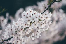 Free White Blossoms On Tree Stock Image - 88565121