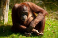 Free Cute Orangutan Stock Photography - 8860712