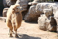 Free Camel Stock Photos - 8866053