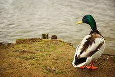 Free Mallard Drake In Front Of Lake Royalty Free Stock Images - 8860119