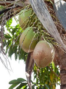 Free Coconuts Royalty Free Stock Photos - 8860318
