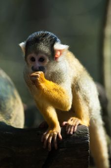 Free Cute Squirrel Monkey Stock Photos - 8860453