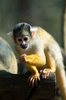 Free Cute Squirrel Monkey Royalty Free Stock Photo - 8860475