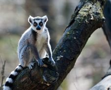 Free Ring-tailed Lemur Stock Photography - 8860532