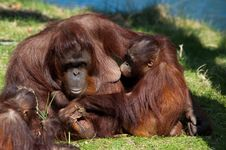 Free Mother And Baby Orangutan Royalty Free Stock Photo - 8860595