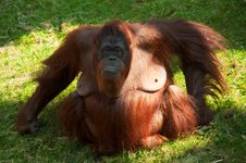 Free Cute Orangutan Stock Photo - 8860610