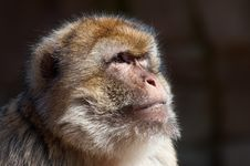 Free Barbary Ape Stock Photo - 8860770