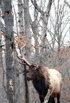Bull Elk Royalty Free Stock Images