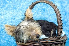 Free Yorkshire Terrier Puppy Sleeping In A Basket Royalty Free Stock Image - 8861156