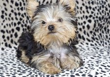 Free Closeup Yorkshire Terrier Puppy Lying Down Stock Photos - 8861163