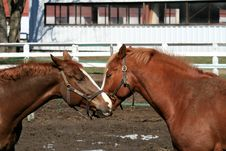 Free Two Horses Royalty Free Stock Image - 8861596