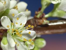 Free Plum Blossom Extreme Closeup Royalty Free Stock Photography - 8864997