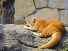 Free Resting Fox Royalty Free Stock Images - 8865789