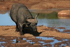 Free Buffalo Drinking Royalty Free Stock Photos - 8865798