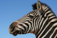 Free Zebra Portrait Stock Photos - 8865893