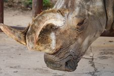 Free White Rhinoceros Royalty Free Stock Image - 8866006