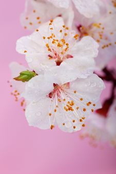 Free Flowers Royalty Free Stock Photography - 8867357