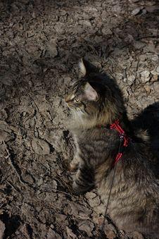 Free Cat, Felidae, Carnivore, Small To Medium-sized Cats Royalty Free Stock Photos - 88624338