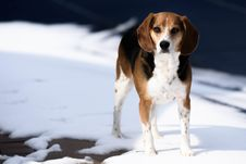 Free Tricolor Jack Russell Terrier Standing On Snow Royalty Free Stock Images - 88626199
