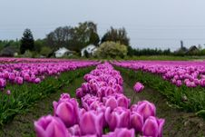 Free Purple Tulips Field At Day Time Stock Photography - 88695262