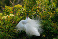 Free Snowy Egret Stock Photo - 8871120