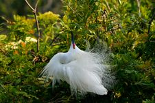 Free Snowy Egret Stock Photo - 8871120