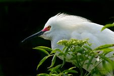 Free Snowy Egret Stock Images - 8871134