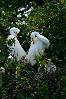 Free White Egret Royalty Free Stock Photography - 8871157