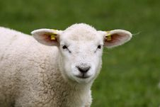 Free Cute Lamb Looking At You Royalty Free Stock Images - 8872389