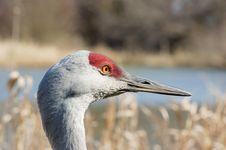 Sandhill Crane On The Lake Stock Images