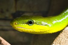 Free Red Tailed Racer Stock Photography - 8873492
