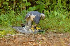 Free Peregrine Falcon With Its Prey Royalty Free Stock Photography - 8875557