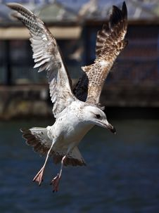Free Seagull Stock Photo - 8875590
