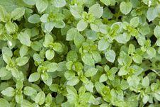 Free Green Herbs Stock Photo - 8875630
