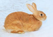 Free Pretty Rabbit On Snow Royalty Free Stock Image - 8876746