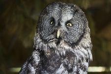 Free Great Gray Owl Royalty Free Stock Photo - 8877125
