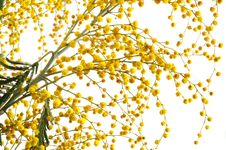 Free Yellow Mimosa Stock Photos - 8879543