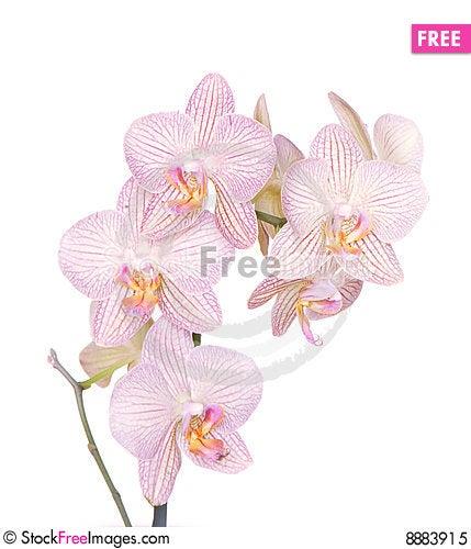 Falinopsis Stock Photo