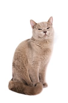Free British Shorthaired Cat Stock Photos - 8880663