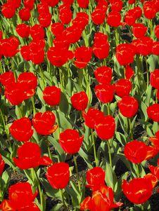 Free Tulips Stock Photo - 8880720