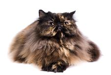 Free Persian Cat Royalty Free Stock Photo - 8881035