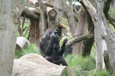 Free Gorilla Stock Image - 8881671